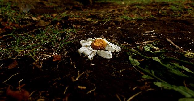 broken daisy